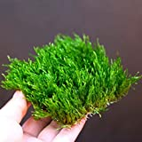 Flame Moss Pad - Live Aquarium Water Plants - Low...