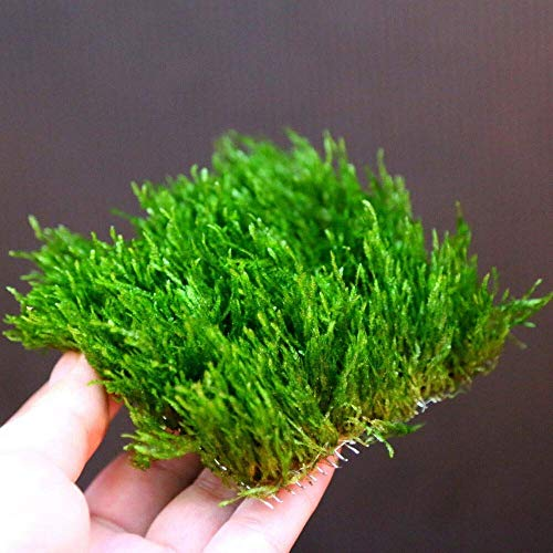 Flame Moss Pad - Live Aquarium Water Plants - Low Light for Shrimp Fish Tank S7P2ONSORUCEBNDPA9SO