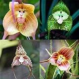 Inkeme Seed House - 30 pcs Singe Visage Orchidée Graine Singe Visage Orchidée Rare Fleur Graines Graines Ornementales Vivace Hardy pour Jardin Balcon/Patio