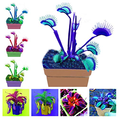 Fenido Samehaus 100Pcs Mehrfarbig Samen Fleischfressende Pflanze - Bonsai Sehr Süß Aussaat Topfpflanze
