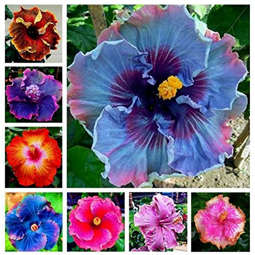 200 Pcs Seeds Mixed Hibiscus Flower Seeds | Non-GMO | Perennial Exotic Plant...