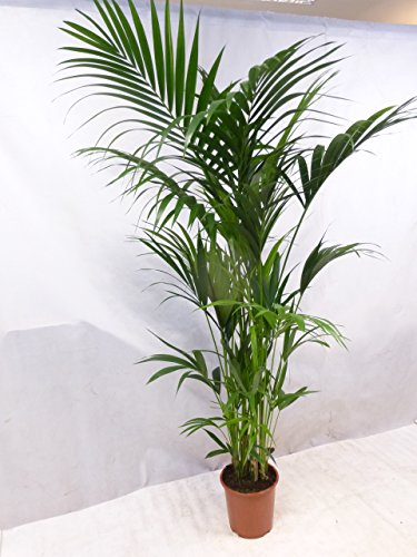 [Palmenlager] XXL Howea forsteriana - Kentia Palme 200/220 cm // große, üppige Zimmerpalme - Zimmerpflanze