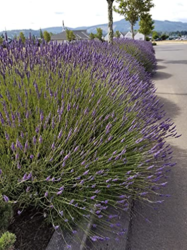 Findlavender - Lavender Plant Phenomenal (Blue Flowers) - 1Qt Size Pot - Zones 5 - 11 - Bee Friendly - Attract Butterfly - Evergreen Plant - 1 Live Plant