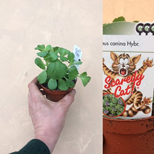 3 Large Coleus Canina Scardy Cat Plant - Ready to Plant