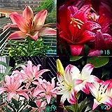 Soteer Garten- 50 Stück Duftend Lilienzwiebeln Samen Duft - Lilium Blumenzwiebeln Lily seeds Blumensamen winterhart mehrjährig
