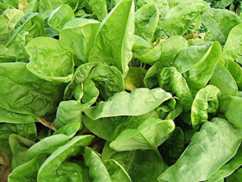 200 Graines d'Oseille - légume plante aromatique - jardin potager méthode BIO
