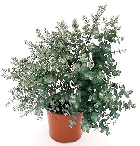 EUCALYPTUS, EUCALIPTO XXL vaso 23, pianta vera