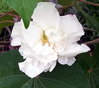 50 White Double Rose of Sharon Hibiscus Syriacus Flower Tree Bush Seeds