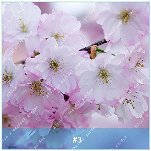 ZLKING 20pcs/pack japonais Sakura Fleurs Bonsaï Graines Cerasus yedoensis fleurs de cerisier facile de cultiver des plantes de fleurs exotiques 3