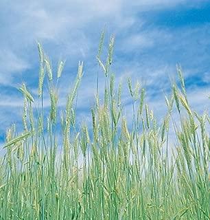 David's Garden Seeds Grain Crop Winter Rye Common XW7272 (Brown) Non-GMO, Heirloom, Organic One Pound Package