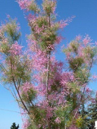 TROPICA - Tamaris d'été (Tamarix ramosissima syn.T.pentandra) - 400 graines- Méditerranée