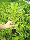 Lauroceraso'Prunus laurocerasus' pianta in vaso biodegradabile FOTO REALI