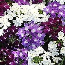 SeeKay Verbena Quartz XP Waterfall Mix - 20 Seeds - Annuals