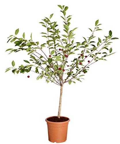 Dehner Zwergkirsche Griotella, säuerliche Früchte, ca. 80-90 cm, 6 l Topf, Obstbaum