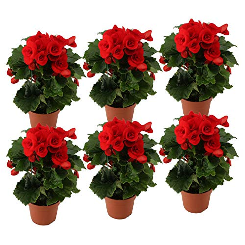 Pflanzen Kölle Elatior-Begonie, 6er-Set, rot, Höhe ca. 20 bis 27 cm