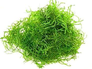 Java Moss Taxiphyllum Barbieri Easy Live Aquarium Plant Freshwater - Buy 2 Get 1