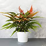 Pteris Tricolor - Painted Brake Fern | 25-35cm with Pot | Best Indoor Plants