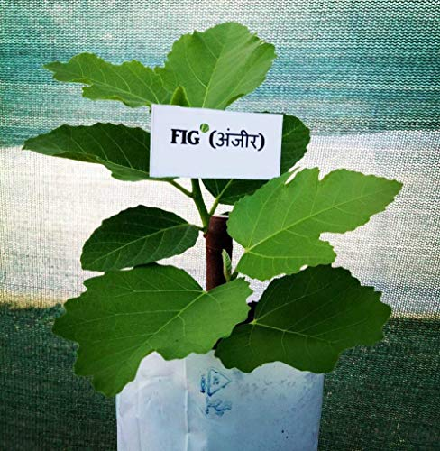 Plantsguru Anjeer Indian Fig Live Plant
