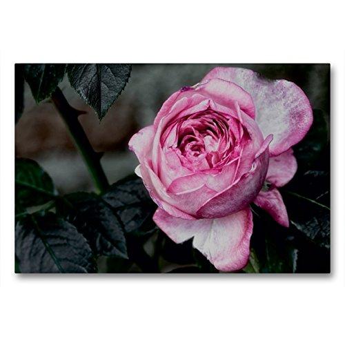 Premium Textil-Leinwand 90 x 60 cm Quer-Format Strauchrose La Rose de Molinard - Delbard 2008 | Wandbild, HD-Bild auf Keilrahmen, Fertigbild auf hochwertigem Vlies, Leinwanddruck von Dieter Meyer