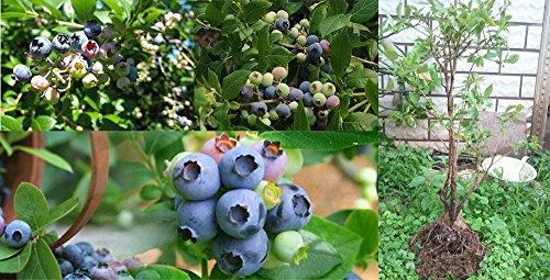 Nouveaux Bonsai Bricolage Jardin des Plantes Fuchsia Fleur Lavender Blueberry Strawberry 200pcs de semences Graines / Paquet Potted Home Office Decora