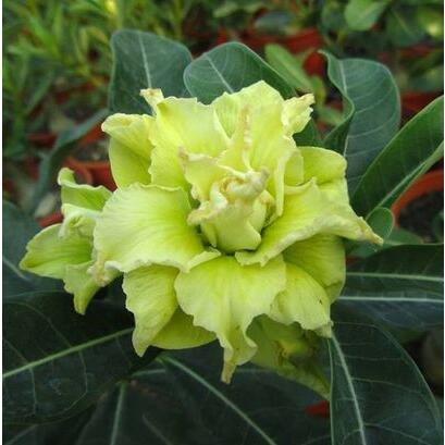 graines importées réel, sac 1pcs/plante colorée Desert Rose bonsaïs, Adenium obesum graines bricolage jardin maison 3 expédition