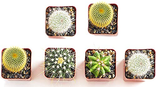 Shop Succulents | Can't Touch This Collection | Assortment of Hand Selected, Fully Rooted Live Indoor Cacti Plants, 6-Pack