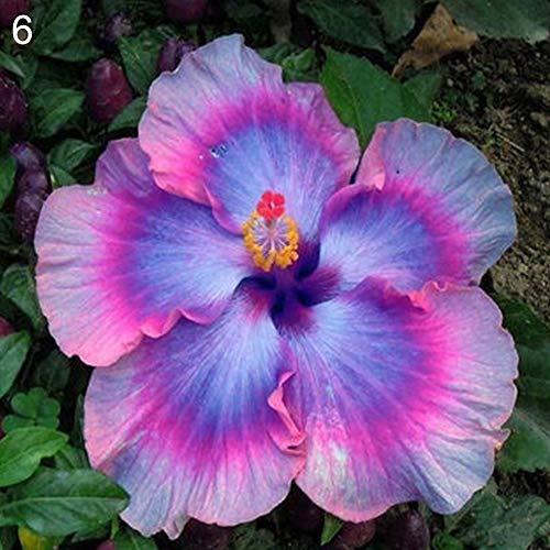 Semi, Catkoo 100 Pz Rare Hibiscus Seeds Exotic Plant Giardino di Casa Ornamentale Decorazione floreale - 6# Semi di Ibisco