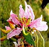 5 x Bauhinia tomentosa pianta di pisello - semi - blossom - b773 Vendiamo semi non solo la pianta. Il prezzo include funzioni customes Seeds è il pacchetto completo. Trasporto che a livello internazionale
