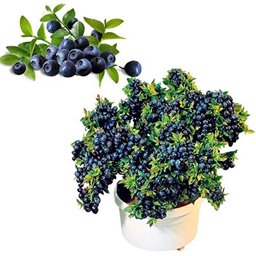 ScoutSeed 50 Teile/beutel Zwerg Vielfalt Blaubeerfrucht Samen Keimung 95% +, Süße Früchte DL