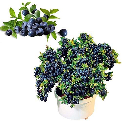 Portal Cool 50Pcs / Beutel Blaubeerbaum-Seed Heidelbeere Samen Topf Bonsai Samen Pflanze Uk