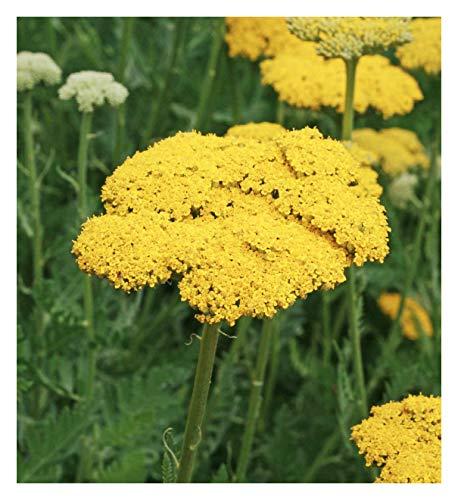 Golden Yarrow - A Favorite Perennial Wildflower - 17,500 Seeds