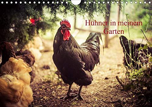 Hühner in meinem Garten (Wandkalender 2020 DIN A4 quer): professionelle Hühnerfotos (Monatskalender, 14 Seiten ) (CALVENDO Tiere)