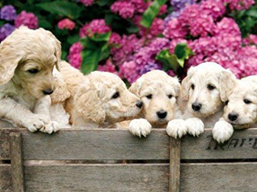1art1 Hunde - Labrador Welpen Im Garten, 2-Teilig Fototapete Poster-Tapete 240 x 180 cm