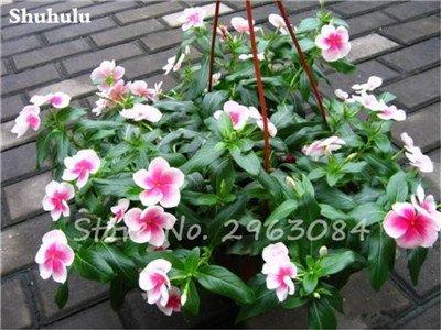 50 PC / bolso raras semillas dipladenia sanderi trepadora perenne Mandevilla Sanderi flor ornamental al aire libre Jardín de Bonsai Plant 2