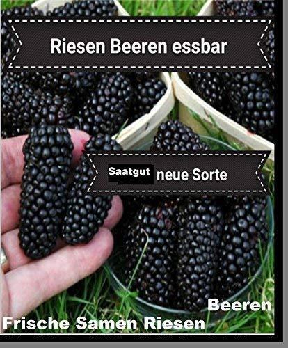 25x Géant Baies Graines Accroche-regard Plant Rarité Fruits comestible délicieux (Mûre) #125