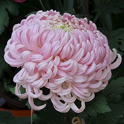 100 Stück Chrysantheme Samen...