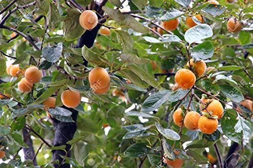 El caqui japonés, Diospyros kaki, semillas de árboles (comestible, llamativo, color de la caída) (5)