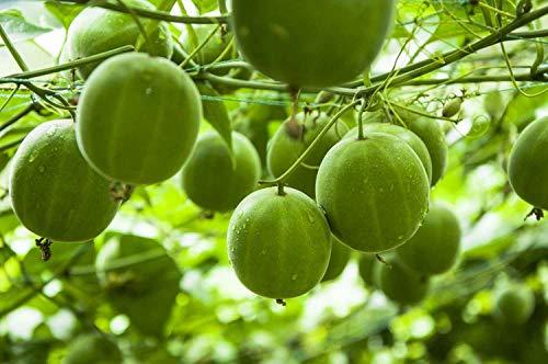 FERRY HOCH KEIMUNG Seeds Nicht NUR Pflanzen: Siraitia (Momordica) Grosvenori, 3 Samen, Luahanguo, Luo Han Guo, Mönch Obst