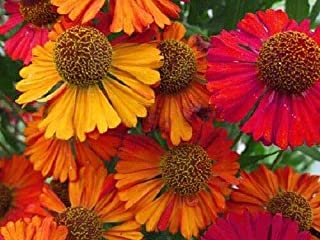 HELENIUM Autumn Leaves Flower Seeds Mixed Colors jocad (100 Seeds)