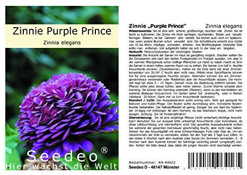 "Seedeo® Zinnie ""Purple Prince"" (Zinnia elegans) 50 Samen"