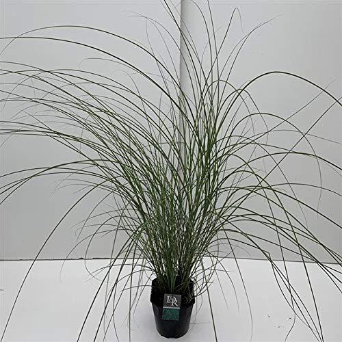 Feinhalm-Chinaschilf - Miscanthus sinensis Gracillimus - 5 Ltr. Topf