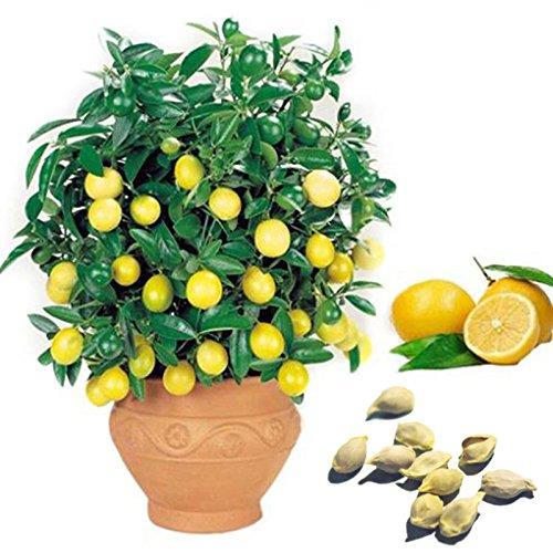 Auntwhale 10 graines de citron jaune