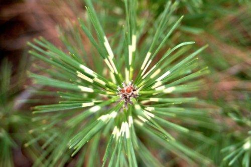 Dragon Eye Japanese Black Pine 3 - Year Graft