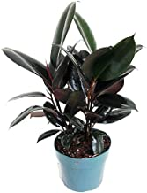Best ruby rubber tree care Reviews