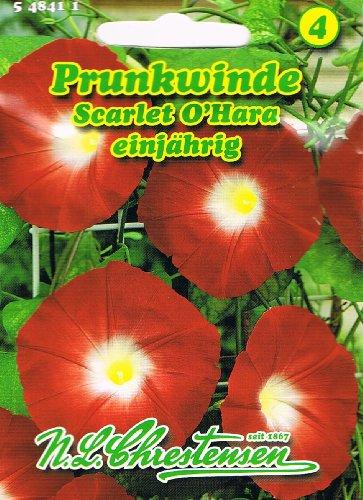 Prunkwinde 'Scarlet O` Hara' karmesin Pharbitis purpurea Schlingpflanze Winde rankend