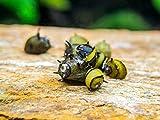 Aquatic Arts 1 Live Zebra Thorn | Horn Nerite Snail | Nano Aquarium Snails | Safe in Freshwater Tetra | Guppy | Betta Fish Tanks