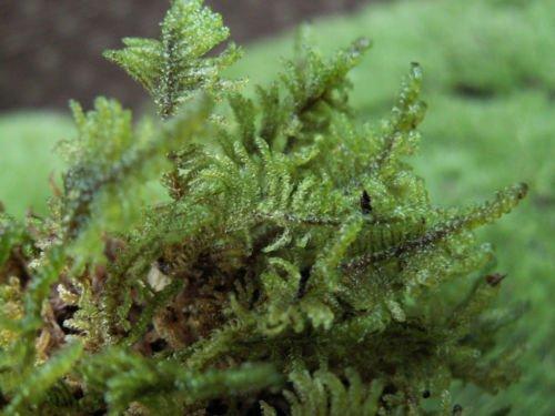 Live Feather Moss 1 Quart for Vivarium, Terrarium, Reptile, Bonsai