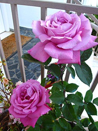 Unbekannt 50 Stück, Lila, Rot Rosen-Samen DIY Hausgarten Dezember.
