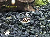 Live Assassin Snails Online