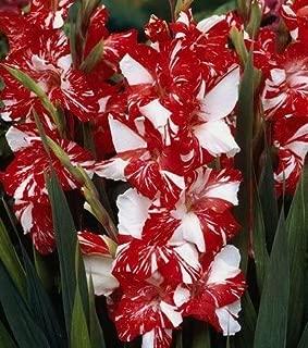 10 Very Graceful Zizane Gladiolus Flowering Mix Bulbs